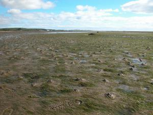 An intertidal seagrass bed at Cuthill Sands in the Dornoch Firth