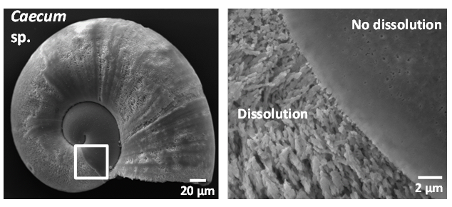 Figure 2: Evidence of shell dissolution in a planktonic gastropod larvae specimen associated with a decrease in aragonite saturation. Picture courtesy of Pablo Diaz, Marine Scotland.
