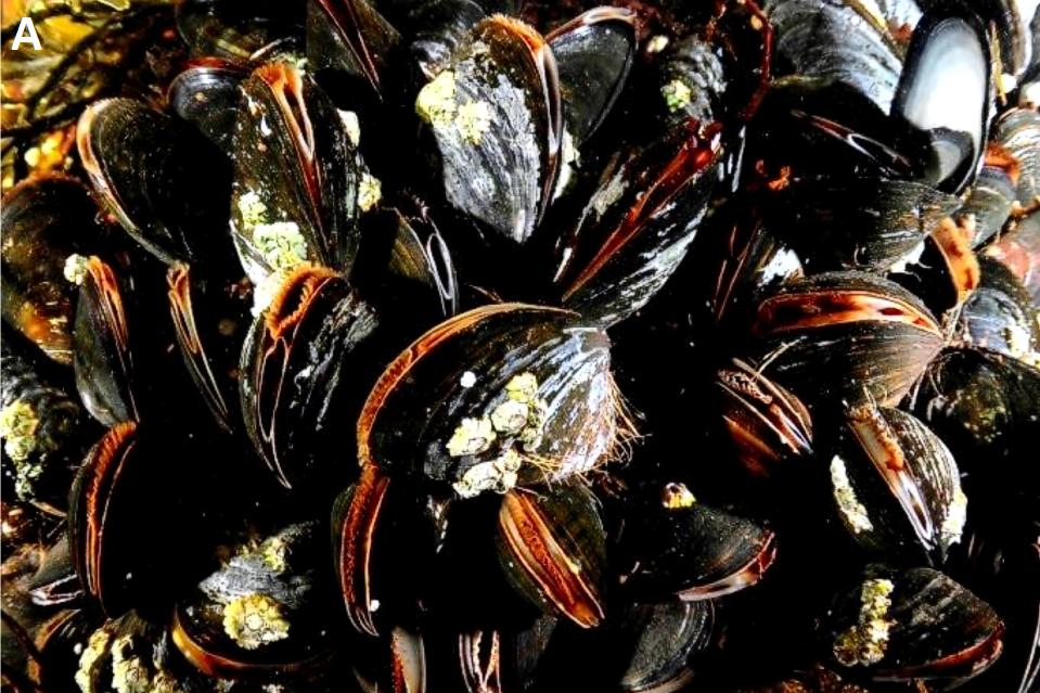 Biogenic habitat - blue mussel bed © NatureScot