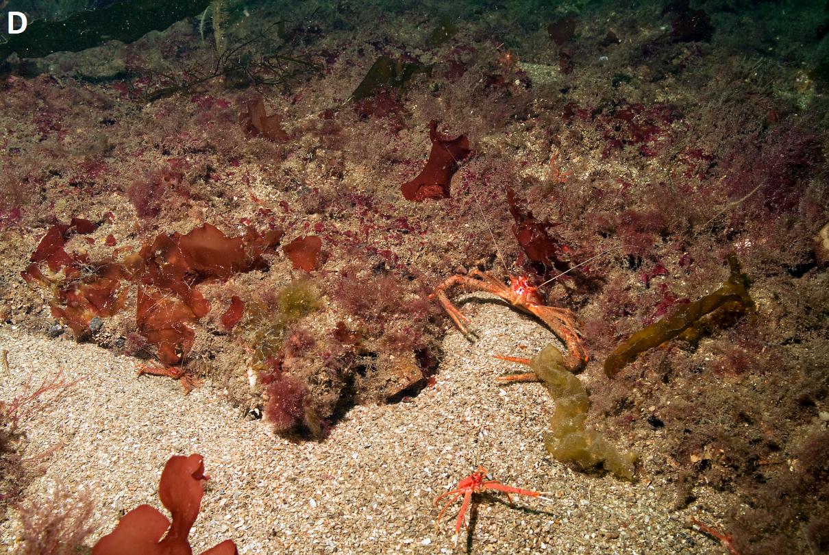 Biogenic habitat - flame shell bed © NatureScot