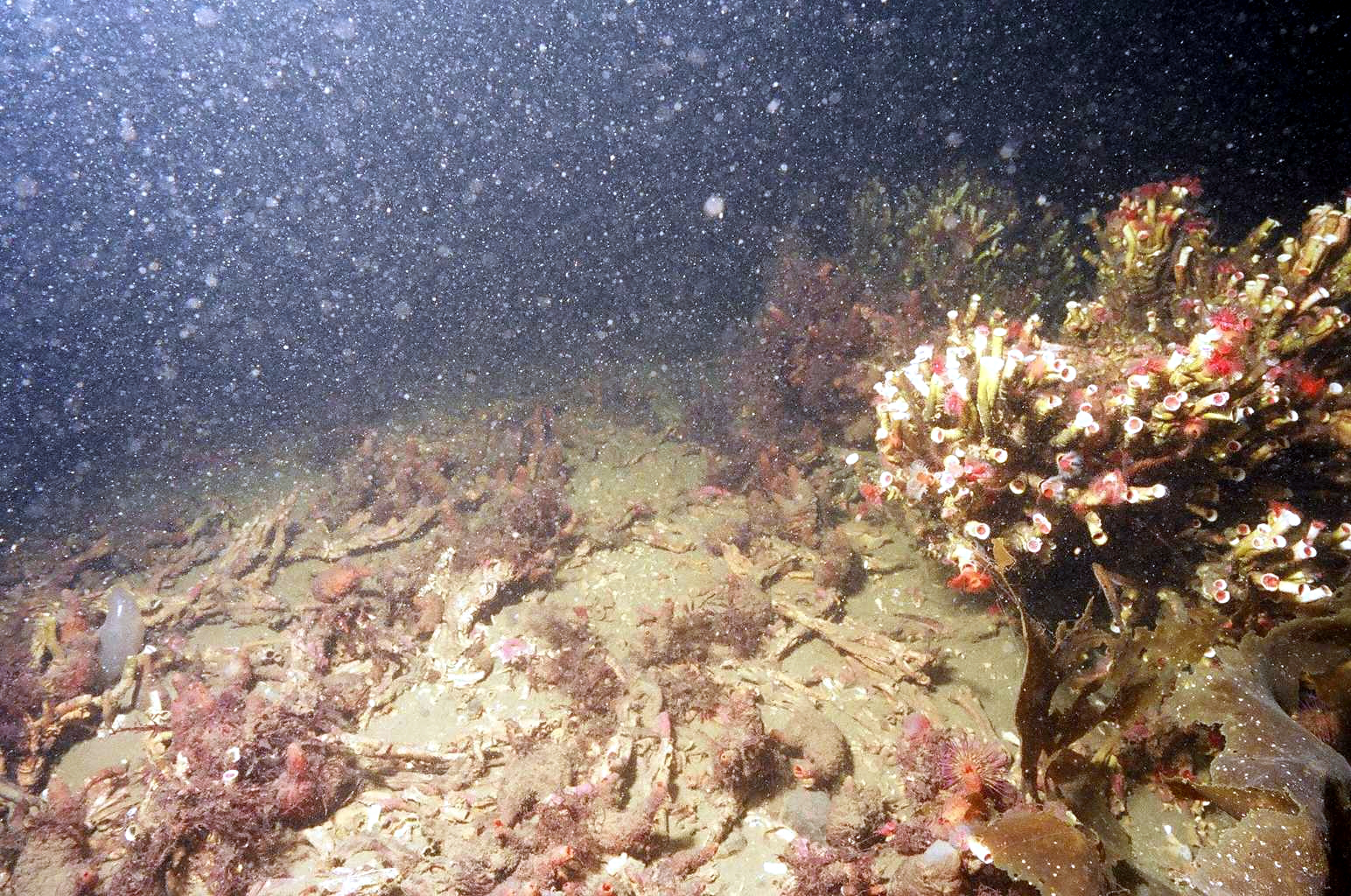 Figure 1. Edge of demersal fishing track through serpulid reef habitat in Loch Creran, Argyll, showing healthy reefs to the right and broken reef rubble within the track to the left.