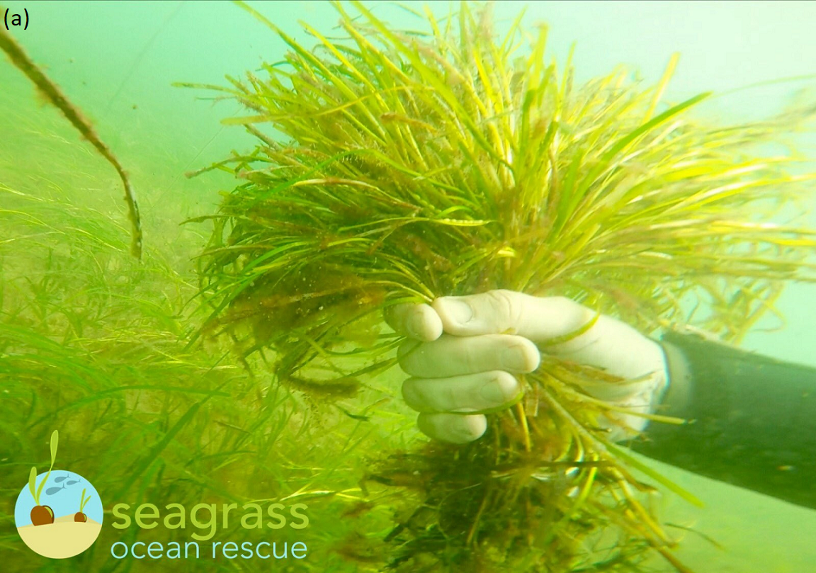 Reproductive seagrass shoots collected by Project Seagrass through the Sky Seagrass Ocean Rescue project