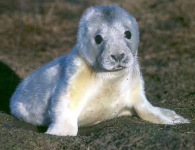 Figure 1: Fasting grey seal pups on the Isle of May. © SMRU.