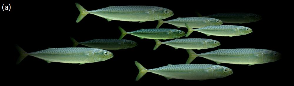 Mackerel shoal