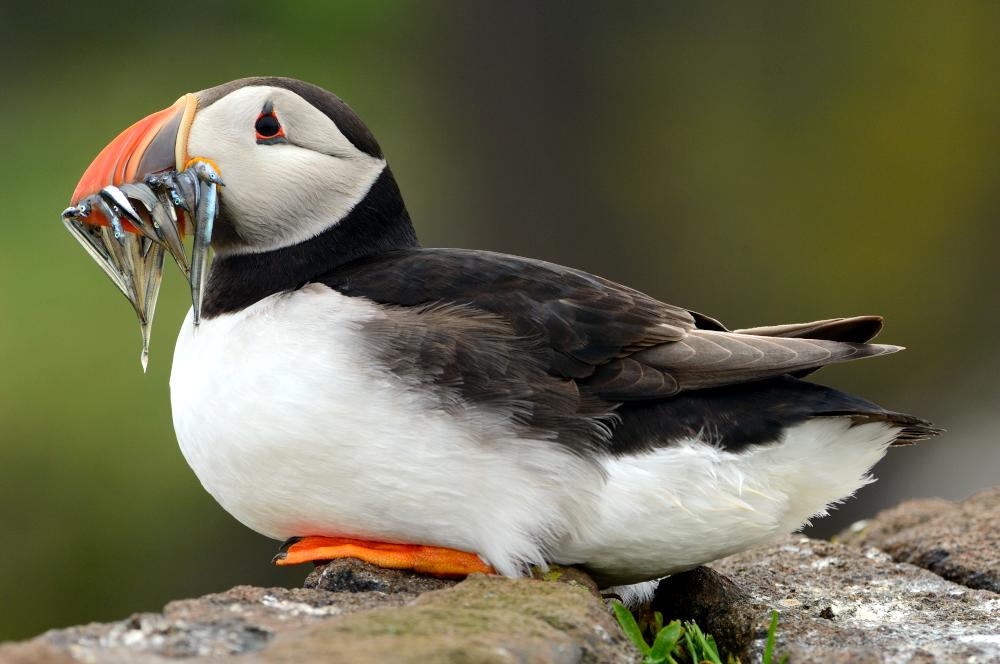 Puffin and sandeels © Lorne Gill/NatureScot