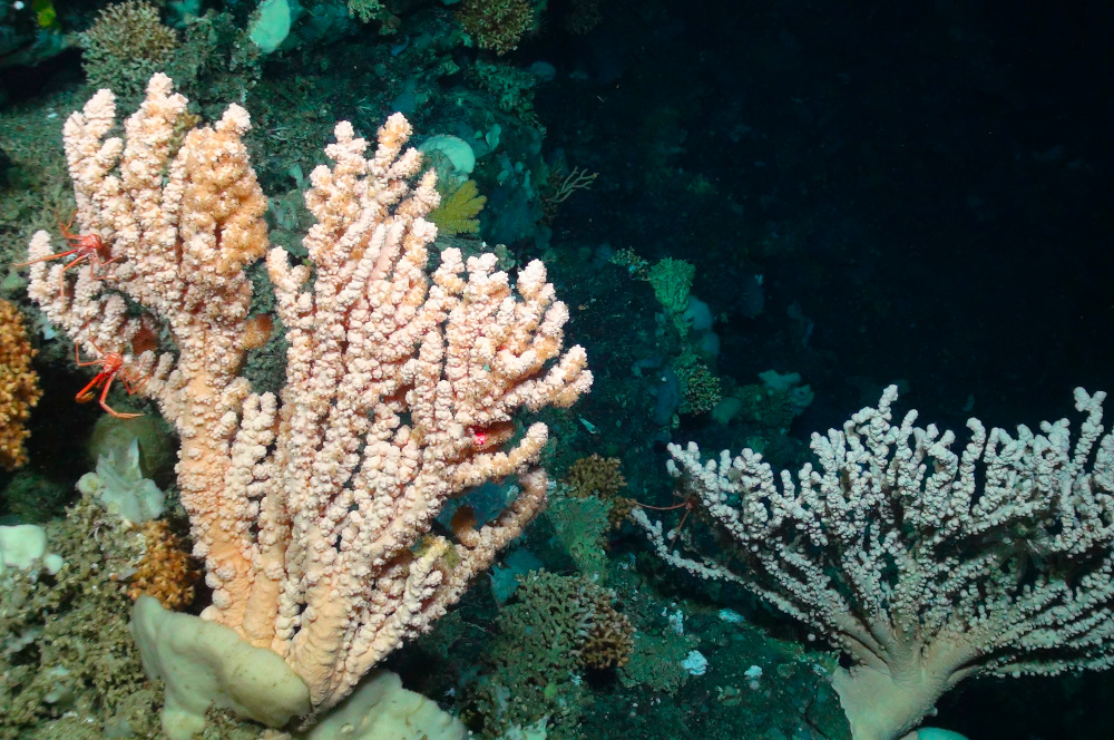 Cold water coral reef © Deep Links Project