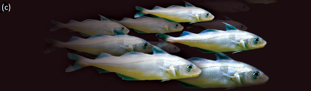 Haddock shoal
