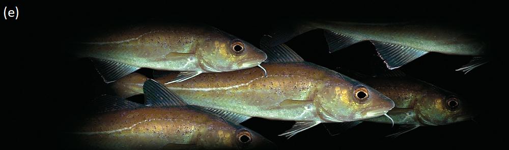 Cod shoal