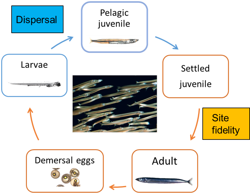 Life-cycle of Ammodytes marinus showing the life-stages where the species disperses (blue boxes) or remains (orange boxes) at a ground.