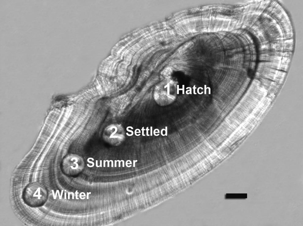 Figure 5: Section of a sandeel otolith showing the pits ablated by laser for elemental analysis corresponding to different life-phases of the fish. Scale bar 50 μm.