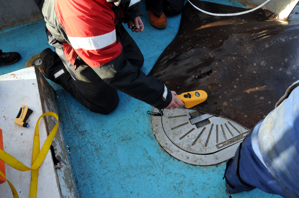 Figure 1: A skate being scanned for a PIT tag © NatureScot.