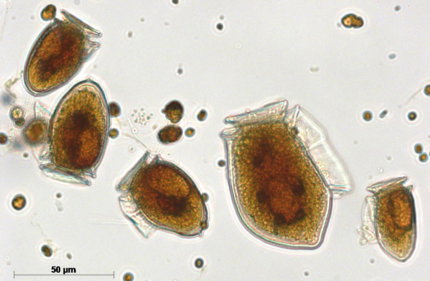 Figure c. Mixed species of Dinophysis © Scottish Association for Marine Science