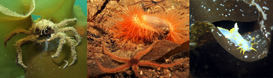 great spider crab (Hyas araneus); flame shells (Limaria hians); brittle stars (Ophiothrix fragilis) © Alasdair O'Dell