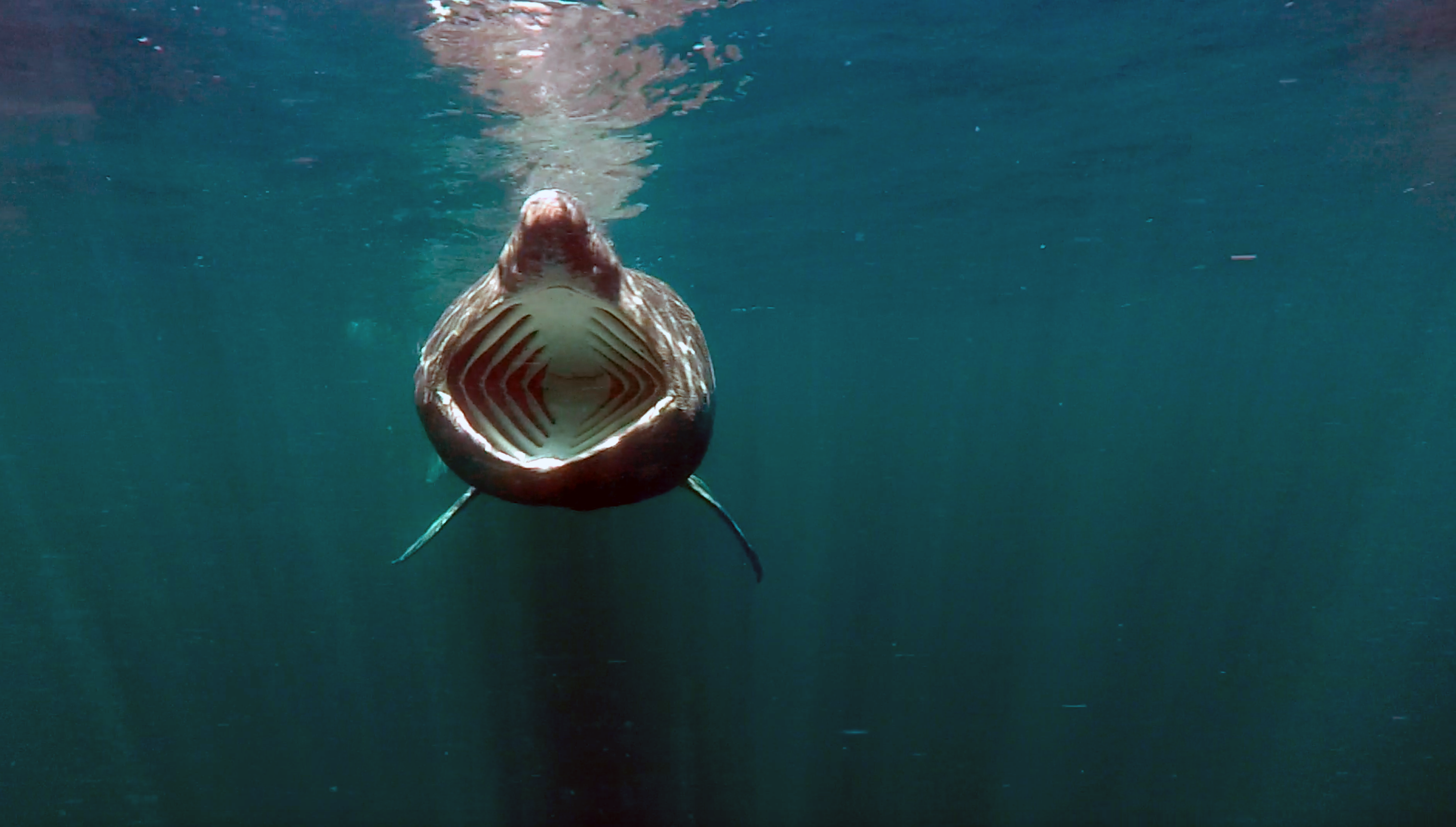 Figure 1: Basking shark feeding in the Sea of the Hebrides. © Amy Kukulya, Oceanographic Systems Lab, WHOI.