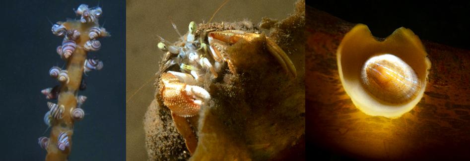 Lacuna vincta; common hermit crab grazing on Saccharina latissima detritus; blue rayed limpet (Patella pellucida) © Alasdair O'Dell