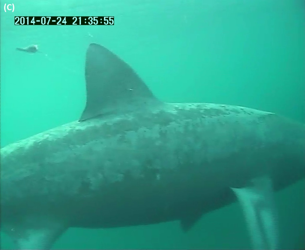 Figure 2: C. Basking shark showing towed SPLASH tag floating behind tip of dorsal fin, tethered by a plastic monofilament attached to a dart fixed into muscle at base of dorsal fin.