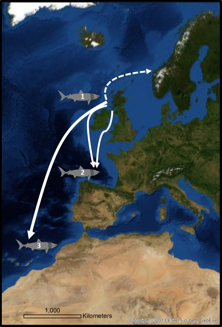 Figure 4: Seasonal migration – the schematic map shows three different types of post summer migration behaviour (based on 70 satellite tagged sharks and as suggested by Doherty et al., 2017a).