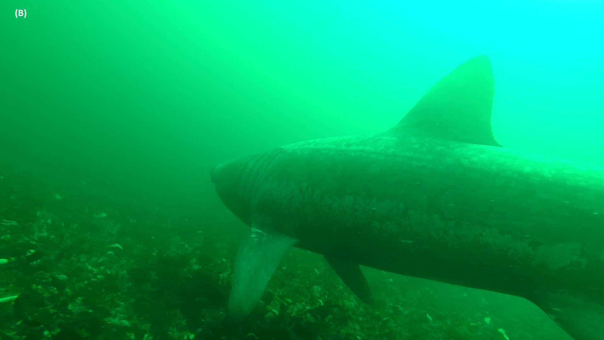 Figure 5: B. Forward view from AUV of shark swimming close to seabed with mouth closed. © Amy Kukulya, Oceanographic Systems Lab, WHOI.