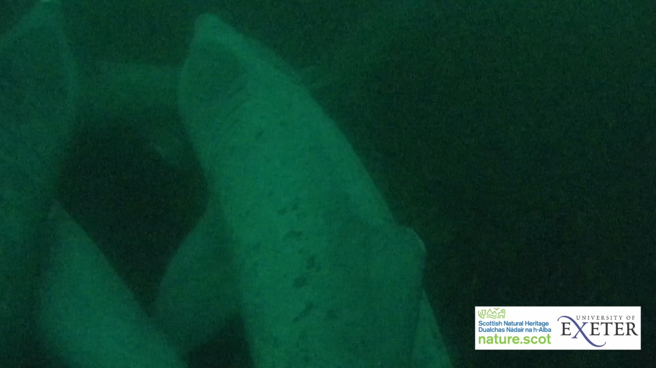 Figure 6: Screen grab from towed video tag footage: three basking sharks are shown