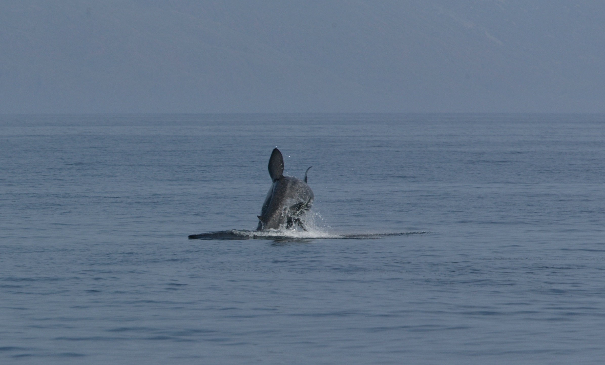 Figure 8: Breaching basking shark. Copyright © Colin Speedie.