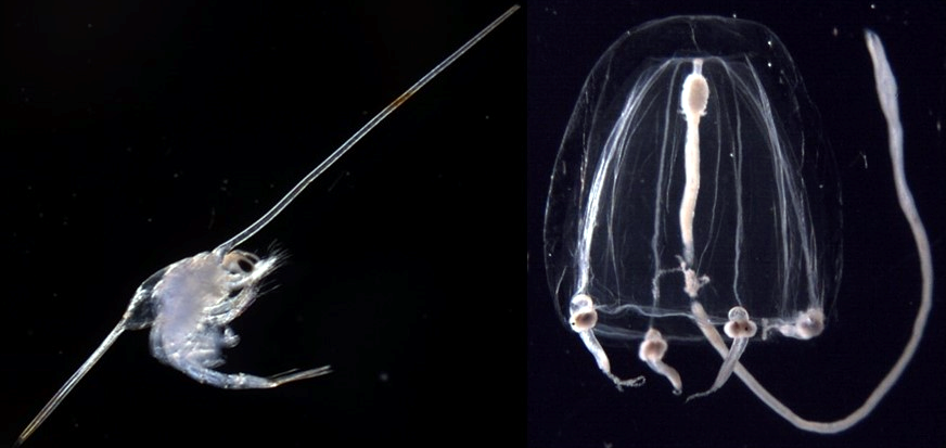 Examples of meroplanktonic organisms, decapod larva on the left and gelatinous zooplankton (Sarsia tubulosa) on the right