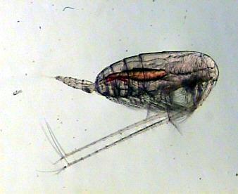 Large copepod (Calanus spp)
