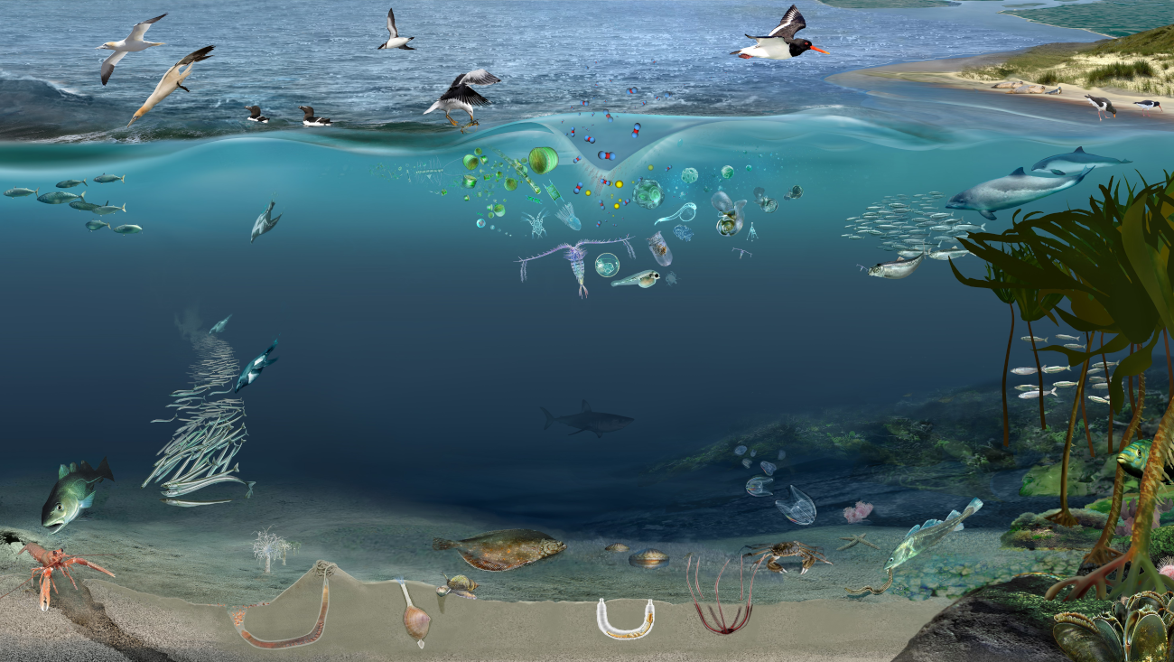 Figure 1:Nearshore temperate marine food web illustrating the relationships between different species groups including plankton, fish, birds and cetaceans. © Glynn Gorick/Nature Scot.
