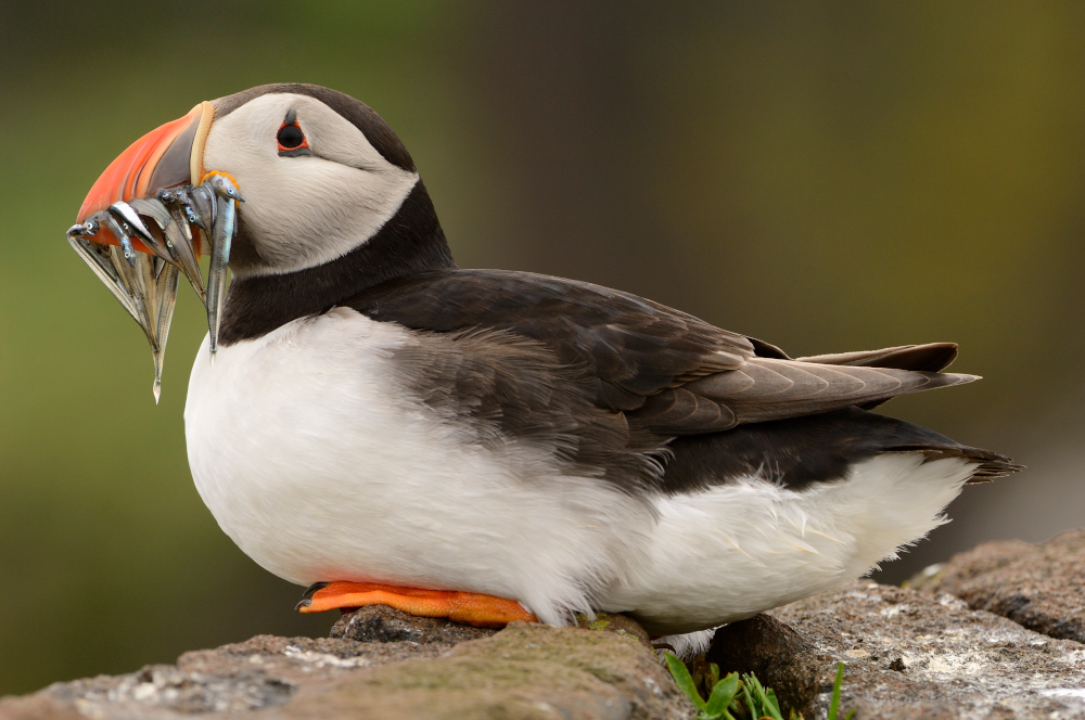 Puffin (Fratercula arctica) on the Isle of May NNR. ©Lorne Gill/NatureScot