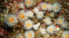 Anemones (Actinothoe sphyrodeta) with bryozoa and barnacles in Firth of Lorn © John Baxter