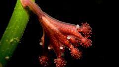 Stalked jellyfish on seagrass © Graham Saunders, NatureScot