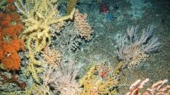 Coral garden © JNCC