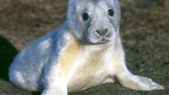 Figure 1: Fasting grey seal pups on the Isle of May