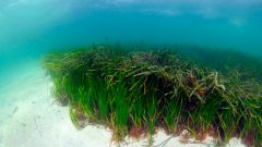 Seagrass bed in the Sound of Barra © Ben James, NatureScot