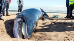 Minke whale, Tentsmuir beach © James Grecian